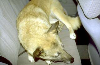 Maurizio Cattelan, Senza titolo, 1998 (Untitled) Stuffed dog dimensioni reali